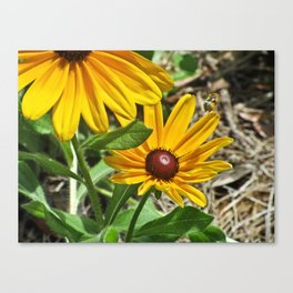 Black-eyed Susans and a Busy Bee Canvas Print