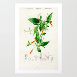 Vintage Print - Universal Dictionary of Natural History (1849) - Candy Corn Vine Art Print