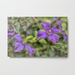 purple Clematis flower Metal Print