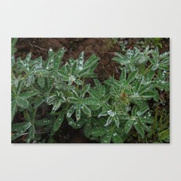 Wet Lupine Canvas Print