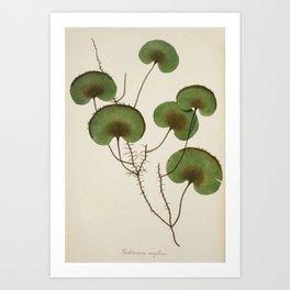 Kidney Fern Art Print