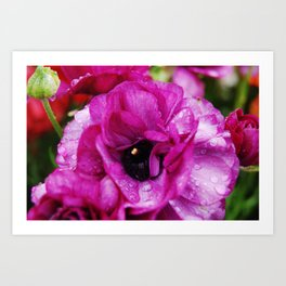 Purple Ranunkel Art Print