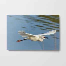 A Snowy Egret wings its way across the lake to a fishing spot Metal Print