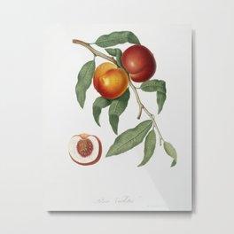 Walnut (Persica violacea) from Pomona Italiana (1817 - 1839) by Giorgio Gallesio (1772-1839) Metal Print