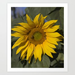 Lively Sunflower Art Print