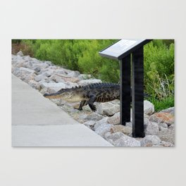 Alligator Coming Up For A Stroll Canvas Print