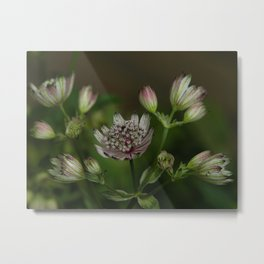 great masterwort. Metal Print