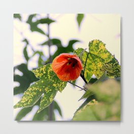 A Beaut Of An Abutilon Metal Print