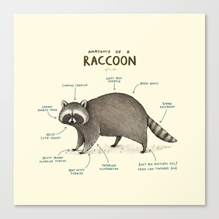 Anatomy of a Raccoon Leinwanddruck