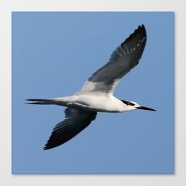 Sandwich Tern In Flight Vector Canvas Print
