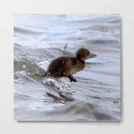 Watercolor Bird, Tufted Duck 02, Lake Myvatn, Iceland, Duckling Run! Metal Print