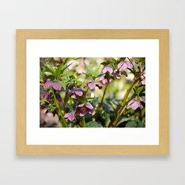 Helleborre purple dark bloom Framed Art Print