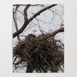 Bald Eagle on a Nest Poster
