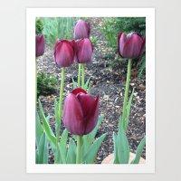 Queen of Night Tulips Art Print