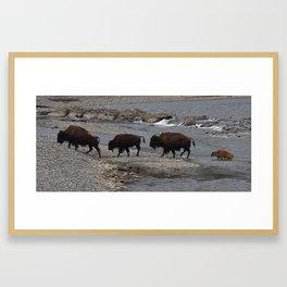Bison Crossing Framed Art Print