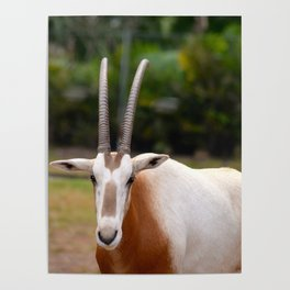 Scimitar Horned Oryx Looking at Me Poster