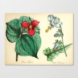 Flower Clover Treefoil Rough Michauxia18 Canvas Print
