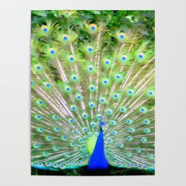 Peacock Feathers | Bird | Birds | Nadia Bonello | Canada Poster
