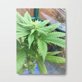 Cannabis and Mantis Metal Print