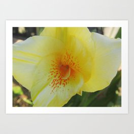 Yellow Canna Lily in Bloom Art Print