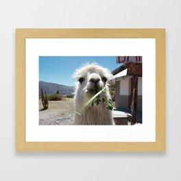 Llama eatin in Peru Framed Art Print