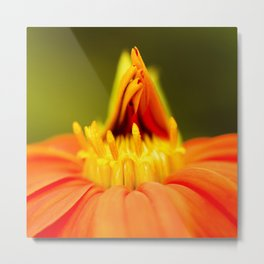 Mexican Sunflower Unfolding Metal Print