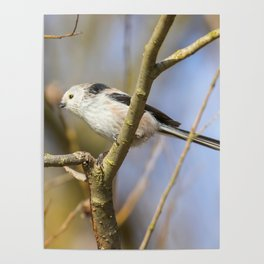 Long-tailed tit on branch (Aegithalos caudatus) Cute little Bird Poster