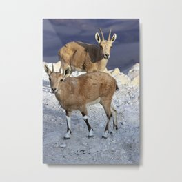 Young Ibex Metal Print