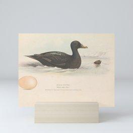 Black Scoter oidemia nigra5 Mini Art Print