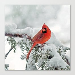 Cardinal on Snowy Branch (sq) Canvas Print