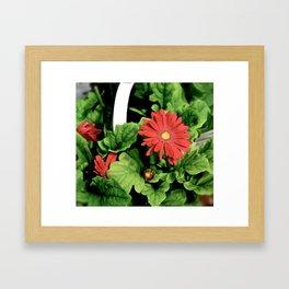 Red Daisies Framed Art Print