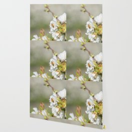 Bee laid on white flowers of a cherry tree Wallpaper