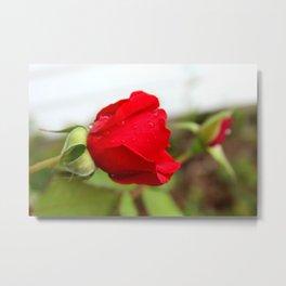 Raindrops on a Rose Metal Print