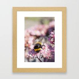Bumblebee On Stonecrop – Hummel auf Fetthenne Framed Art Print