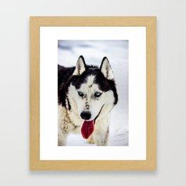 Siberian Husky with blue eyes Framed Art Print