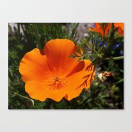 Brilliant California Poppy Canvas Print