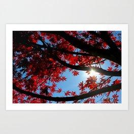 Japanese maple in scarlet against blue fall sky Art Print