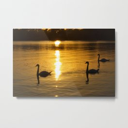 Swans at sunset. Metal Print
