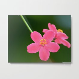 Spicy Jatropha Flower Metal Print