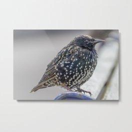 Starling. Metal Print
