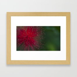 Red Calliandra flower. Framed Art Print