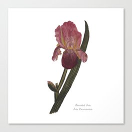 Bearded Iris: Iris Germanica Canvas Print