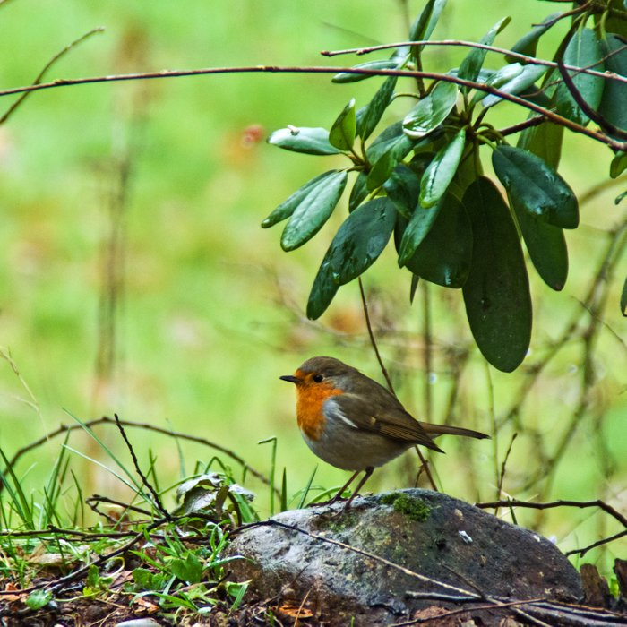 Robin in the spring Comforters