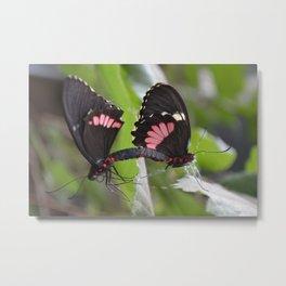Mating Butterflies Metal Print