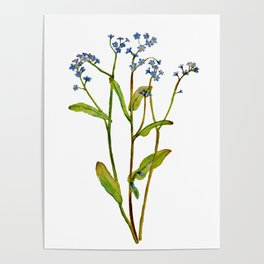 Forget-me-not flowers watercolor art Poster