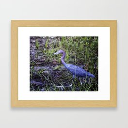 Little Blue Heron Strut Framed Art Print