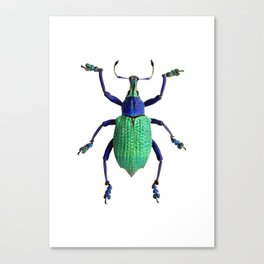 Eupholus Weevil Beetle Canvas Print