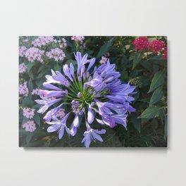 Agapantha Flower Metal Print