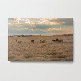Cows Among the Grass - Cattle Wade Through a Field in Texas Metal Print