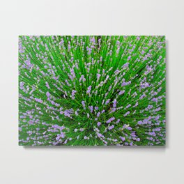 Lavender Close Up Metal Print